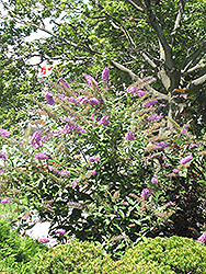 Pink Delight Butterfly Bush (Buddleia davidii 'Pink Delight') at Randy's Perennials