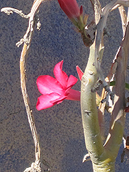 Desert Rose (Adenium obesum) at Randy's Perennials