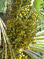 Mediterranean Fan Palm (Chamaerops humilis) at Randy's Perennials