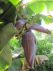 Rajapuri Banana (Musa 'Rajapuri') at Randy's Perennials