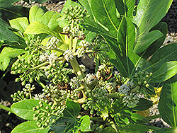 Japanese Fatsia (Fatsia japonica) at Randy's Perennials