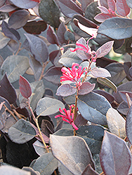 Purple Pixie® Fringeflower (Loropetalum chinense 'Peack') at Randy's Perennials