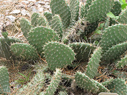 Prickly Pear Cactus (Opuntia polyacantha) at Randy's Perennials