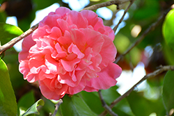 Marie Bracey Camellia (Camellia japonica 'Marie Bracey') at Randy's Perennials