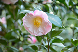 Dr. Tinsley Camellia (Camellia japonica 'Dr. Tinsley') at Randy's Perennials