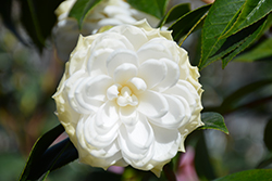 White By The Gate Camellia (Camellia japonica 'White By The Gate') at Randy's Perennials