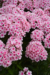 Bright Eyes Garden Phlox (Phlox paniculata 'Bright Eyes') at Randy's Perennials