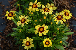 UpTick™ Yellow and Red Tickseed (Coreopsis 'Baluptowed') at Randy's Perennials