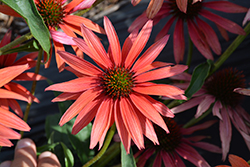 Hot Summer Coneflower (Echinacea 'Hot Summer') at Randy's Perennials
