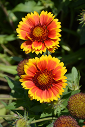 Arizona Sun Blanket Flower (Gaillardia x grandiflora 'Arizona Sun') at Randy's Perennials