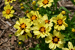 UpTick™ Cream and Red Tickseed (Coreopsis 'Balupteamed') at Randy's Perennials