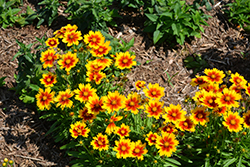 UpTick™ Gold and Bronze Tickseed (Coreopsis 'Baluptgonz') at Randy's Perennials