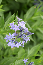 Blue Ice Star Flower (Amsonia tabernaemontana 'Blue Ice') at Randy's Perennials