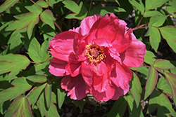 Houki Tree Peony (Paeonia suffruticosa 'Houki') at Randy's Perennials