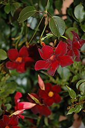 Sun Parasol® Pretty Deep Red Mandevilla (Mandevilla 'Sun Parasol Pretty Deep Red') at Randy's Perennials