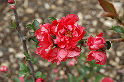 Double Take Pink™ Flowering Quince (Chaenomeles speciosa 'Double Take Pink Storm') at Randy's Perennials