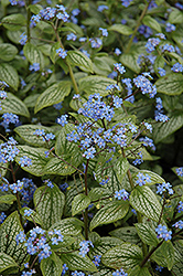 Silver Heart Bugloss (Brunnera macrophylla 'Silver Heart') at Randy's Perennials