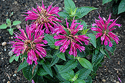 Pardon My Purple Beebalm (Monarda didyma 'Pardon My Purple') at Randy's Perennials