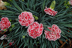 Coral Reef Pinks (Dianthus 'WP07OLDRICE') at Randy's Perennials