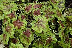Solar Eclipse Foamy Bells (Heucherella 'Solar Eclipse') at Randy's Perennials