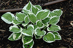 Diamonds Are Forever Hosta (Hosta 'Diamonds Are Forever') at Randy's Perennials