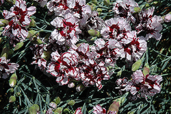 Coconut Punch Pinks (Dianthus 'Coconut Punch') at Randy's Perennials
