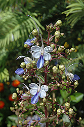 Blue Butterfly Plant (Clerodendrum ugandense) at Randy's Perennials