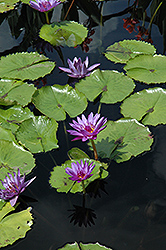 Director George T. Moore Tropical Water Lily (Nymphaea 'Director George T. Moore') at Randy's Perennials