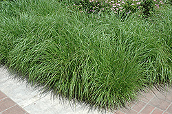 Fountain Grass (Pennisetum alopecuroides) at Randy's Perennials