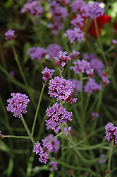 Little One Verbena (Verbena bonariensis 'Little One') at Randy's Perennials