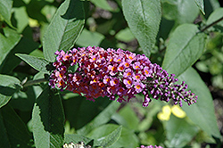 Bicolor Butterfly Bush (Buddleia x weyeriana 'Bicolor') at Randy's Perennials
