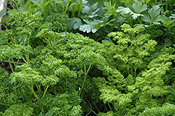 Curly Parsley (Petroselinum crispum 'var. crispum') at Randy's Perennials