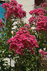 Miami Crapemyrtle (Lagerstroemia 'Miami') at Randy's Perennials