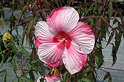 Turn Of The Century Hibiscus (Hibiscus 'Turn Of The Century') at Randy's Perennials