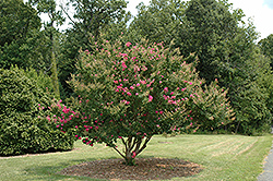 Tonto Crapemyrtle (Lagerstroemia 'Tonto') at Randy's Perennials