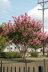 Sioux Crapemyrtle (Lagerstroemia 'Sioux') at Randy's Perennials