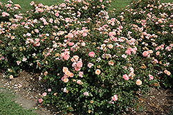 Apricot Drift® Rose (Rosa 'Meimirrote') at Randy's Perennials
