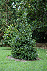 Oakland™ Holly (Ilex 'Magland') at Randy's Perennials