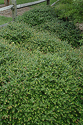 Taylor's Rudolph Yaupon Holly (Ilex vomitoria 'Taylor's Rudolph') at Randy's Perennials
