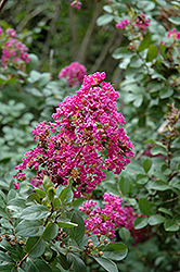 Twilight Crapemyrtle (Lagerstroemia indica 'Twilight') at Randy's Perennials