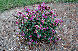 Early Bird™ Purple Crapemyrtle (Lagerstroemia 'JD827') at Randy's Perennials