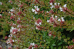 Rose Creek Abelia (Abelia x grandiflora 'Rose Creek') at Randy's Perennials