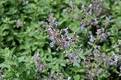 Junior Walker Catmint (Nepeta x faassenii 'Novanepjun') at Randy's Perennials