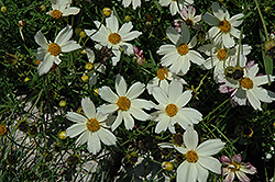 Cosmic Evolution Tickseed (Coreopsis 'Cosmic Evolution') at Randy's Perennials