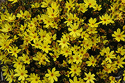 Citrine Tickseed (Coreopsis 'Citrine') at Randy's Perennials