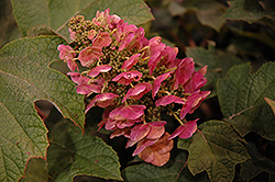 Ruby Slippers Hydrangea (Hydrangea quercifolia 'Ruby Slippers') at Randy's Perennials