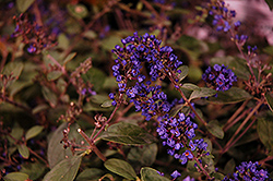 Lo And Behold® Blue Chip Junior Dwarf Butterfly Bush (Buddleia 'Lo And Behold Blue Chip Junior') at Randy's Perennials