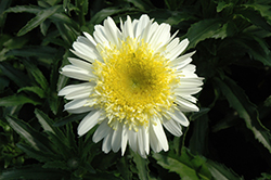 Real Dream Shasta Daisy (Leucanthemum x superbum 'Real Dream') at Randy's Perennials