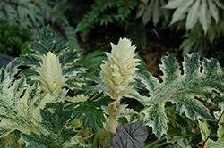 Whitewater Acanthus (Acanthus 'Whitewater') at Randy's Perennials
