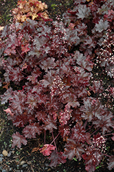 Black Taffeta Coral Bells (Heuchera 'Black Taffeta') at Randy's Perennials